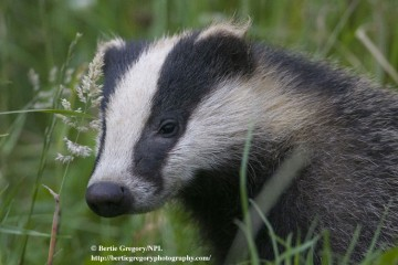 Badger in Grass Thumbnail